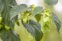 Hop - taste of beer Royalty Free Stock Images