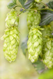 Hop - taste of beer Stock Photography
