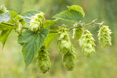 Hop - taste of beer Royalty Free Stock Images