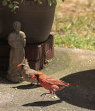 Hop to it - Pair Cardinals Royalty Free Stock Photo