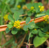 Hop Trefoil (Trifolium campestre). Trifolium campestre, commonly known as hop trefoil, field clover and low hop clover, is usually found in dry, sandy grassland royalty free stock image