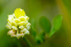 Hop Trefoil. (Trifolium campestre) flowering in grassland during an English spring Stock Photos
