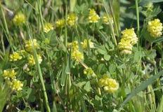 Hop Trefoil. Trifolium campestre Stock Images