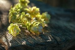 Hop a twig on the background of an old wooden table. Vintage style. stock photo