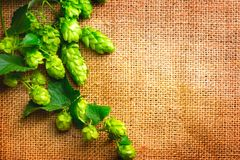 Hop twig on burlap texture. Beer production ingredient. Brewery. Shabby sack linen texture background. Hop twig on burlap texture. Beer production ingredient royalty free stock images