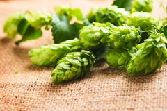 Hop twig on burlap texture. Beer production ingredient. Brewery. Shabby sack linen texture background. Hop twig on burlap texture. Beer production ingredient royalty free stock photography
