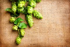 Hop twig on burlap texture. Beer production ingredient. Brewery. Shabby sack linen texture background. Hop twig on burlap texture. Beer production ingredient stock photo