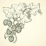 Hop Vector tekening Royalty-vrije Stock Afbeelding