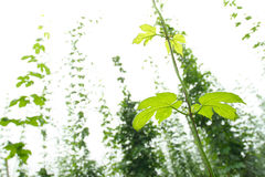 Hop vine stock image