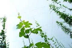 Hop vine royalty free stock photos