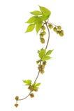 Hop Vine. Golden hop, Humulus lupulus Aureus, vine leaves and hops isolated against white stock image