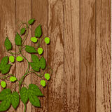 Hop vine on a wooden wall. Stock Image
