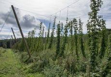 Hop Vines Stock Photos