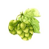 Hop. Watercolor Stock Photography