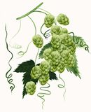 Hop watercolor painting Royalty Free Stock Image