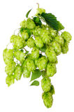 The hop on white background Stock Photo