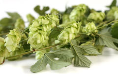 Hop on a white background Royalty Free Stock Images