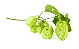 Hop. On a white background Stock Image
