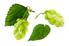Hop on white background Stock Photo