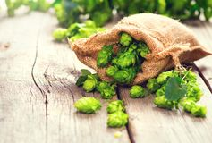 Hop. Whole hops in bag on wooden cracked old table. Brewery. Beer production ingredients. Fresh picked hop cones. Closeup royalty free stock photos