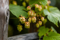 Hop with wooden boards. Detailed view of the hop with wooden boards Stock Images