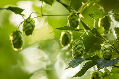 Hop (Humulus lupulus) Royalty Free Stock Photos