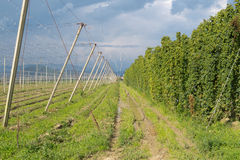 Hop yard and superstructure of overhead wires. Mature hops growing in a hop yard Royalty Free Stock Image