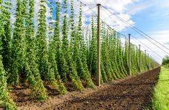 Hopcultivation en Allemagne Images libres de droits