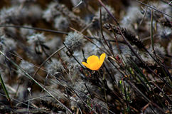 Hope. A golden poppy growing in a windy, wild field stock photo