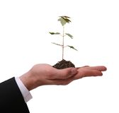 Hope. Man Presenting Seedling Maple Tree isolated on White Background Royalty Free Stock Photography