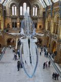 Hope -Blue whale skeleton. Natural history museum have replaced Dippt with Hope the blue whale skeleton. Blue whales are the largest creature to have ever lived royalty free stock images