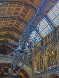Hope -Blue whale skeleton. Natural history museum have replaced Dippt with Hope the blue whale skeleton. Blue whales are the largest creature to have ever lived royalty free stock photos