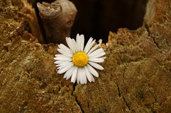 A hope of a Daisy. A daisy is popping out of the old cut oak tree stock image