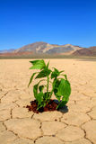 Hope for green environment. Fresh green vegetable planted in drought desert ground Stock Photography