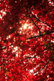 Hope. Sunlight shining through the red maple leaves Royalty Free Stock Photos