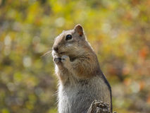 Hopeful Chipmunk Stock Images