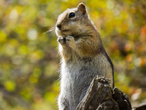 Hopeful Chipmunk wishes for food Stock Photos