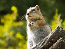 Hopeful Chipmunk wishes for a handout. Chipmunk on a fallen tree in Rocky Mountain National Park Stock Photo