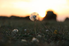 A Hopeful Dandelion at Sunset. A Defiant Dandelion on a Calm Summer Evening Stock Photography