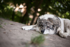 Hopelessness in the eyes of a tired dog. Hopelessness in the eyes of a tired stray dog, lying on the ground Royalty Free Stock Photo
