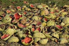 Hopen van rottende watermeloenen Schil van meloen Een verlaten gebied van watermeloenen en meloenen Rotte Watermeloenen Blijft va stock afbeeldingen