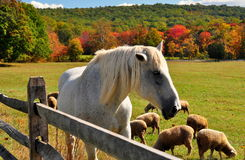 Hopewell panna, PA: Betande får och häst Royaltyfria Foton