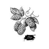 Hopfenbetriebszeichnungsillustration Hand gezeichnetes künstlerisches Bier Lizenzfreies Stockbild