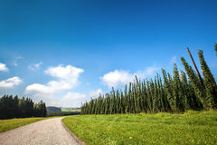 Hopfenernten - Landschaft Stockfotografie