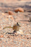Hopi Chipmunk. In Canyonlands national park, Utah USA Royalty Free Stock Photos