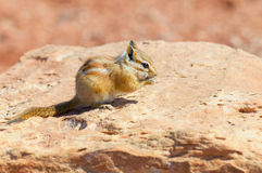 Hopi Chipmunk. In Canyonlands national park, Utah USA Royalty Free Stock Photo