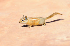 Hopi Chipmunk. In Canyonlands national park, Utah USA Stock Photography
