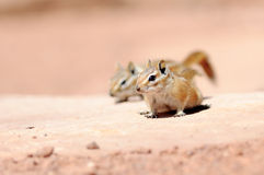 Hopi Chipmunk Stock Photo