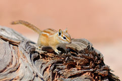 Hopi Chipmunk. In Canyonlands national park, Utah USA Stock Photo