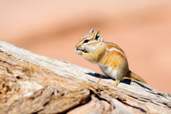 Hopi Chipmunk. In Canyonlands national park, Utah USA Royalty Free Stock Photography